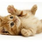 Гингивостоматиты кошек